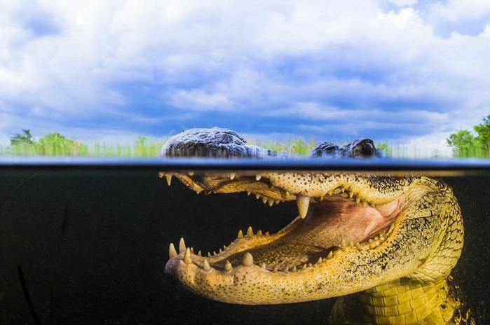 Впечатляющие фотографии аллигаторов под водой