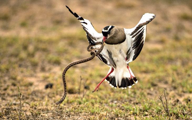 2. Откройте рот пошире. Разборки бегемотов в Танзании. (Фото Nicolas Merino):