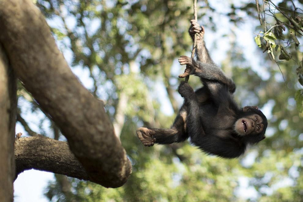 12. Рука. В природе шимпанзе способны использовать орудия труда. Они используют палки для ловли