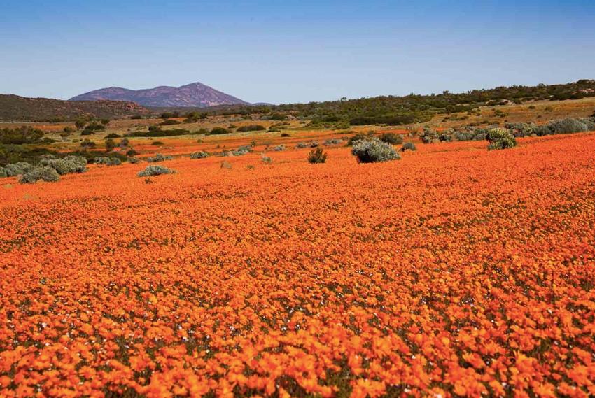 20. Намакваленд, Южная Африка Раз в год национальный парк Намакваленд из засушливой, безжизненной об