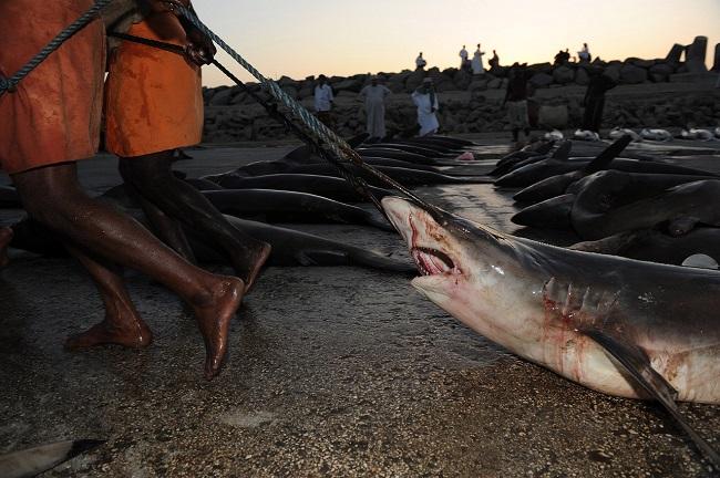 Лисьи акулы и акулы-мако гораздо дешевле других видов, поэтому их просто сваливают в кучу.