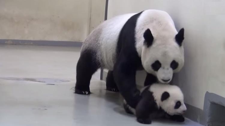 Названа причина погибели панды иеедетеныша взоопарке Шанхая