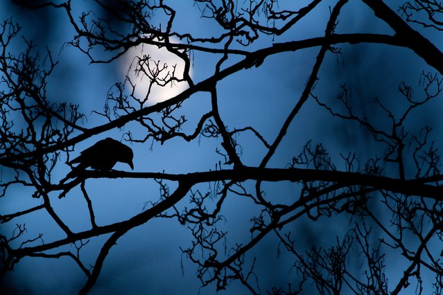 """The moon and the crow"". Gideon Knight, UK Winner, Young wildlife photographer of the year. A crow i"