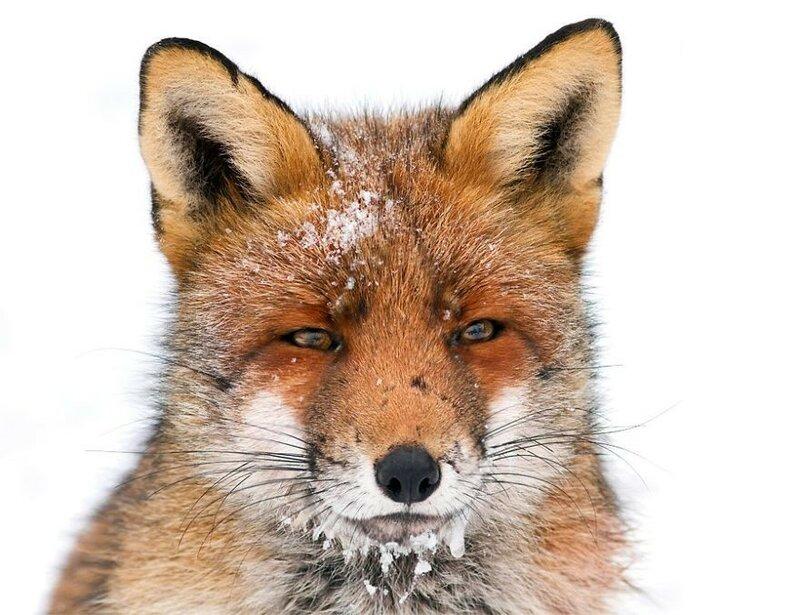 Лисичка зимой.