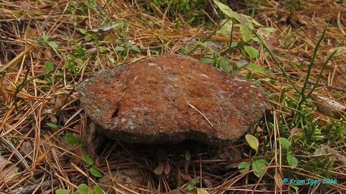Гиднеллум ржавчинный (Hydnellum ferrugineum) То же плодовое тело в возрасте 8-9 недель, во влажную и в сухую погоду Автор фото: Кром Игорь
