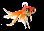 Goldfish swimming islolated on white