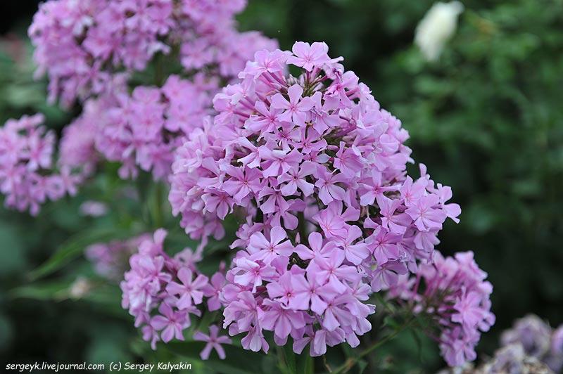 Phlox paniculata Reverans (1).JPG