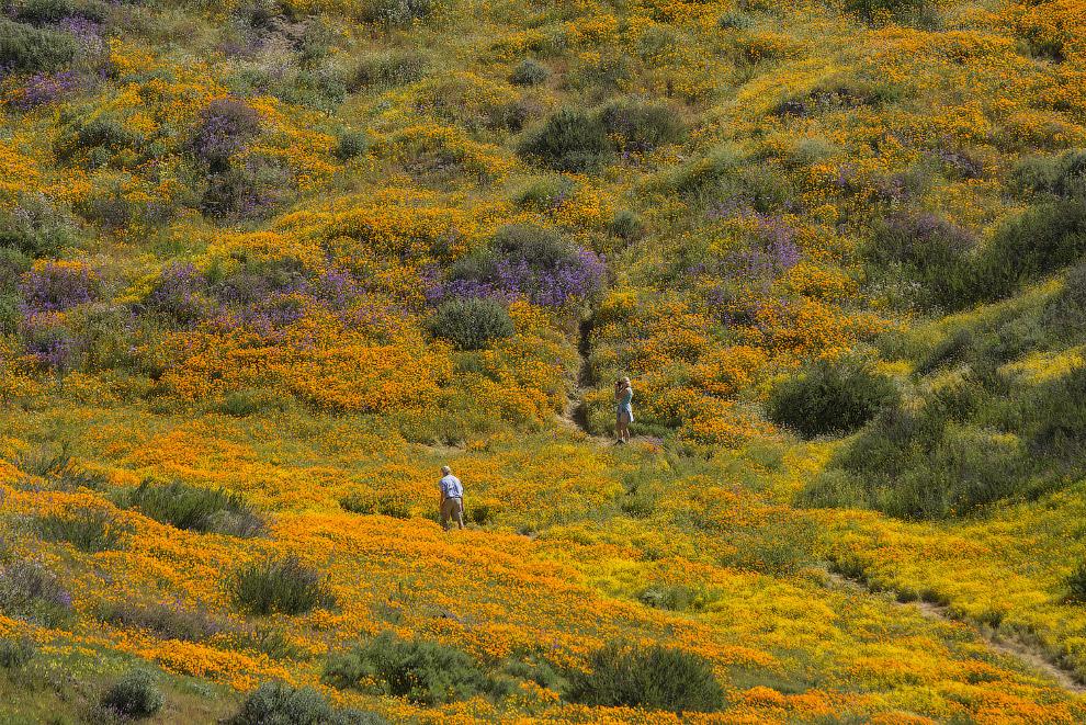 7. 6 апреля празднуется как День калифорнийского мака. Интересно, что распространено мнение о т
