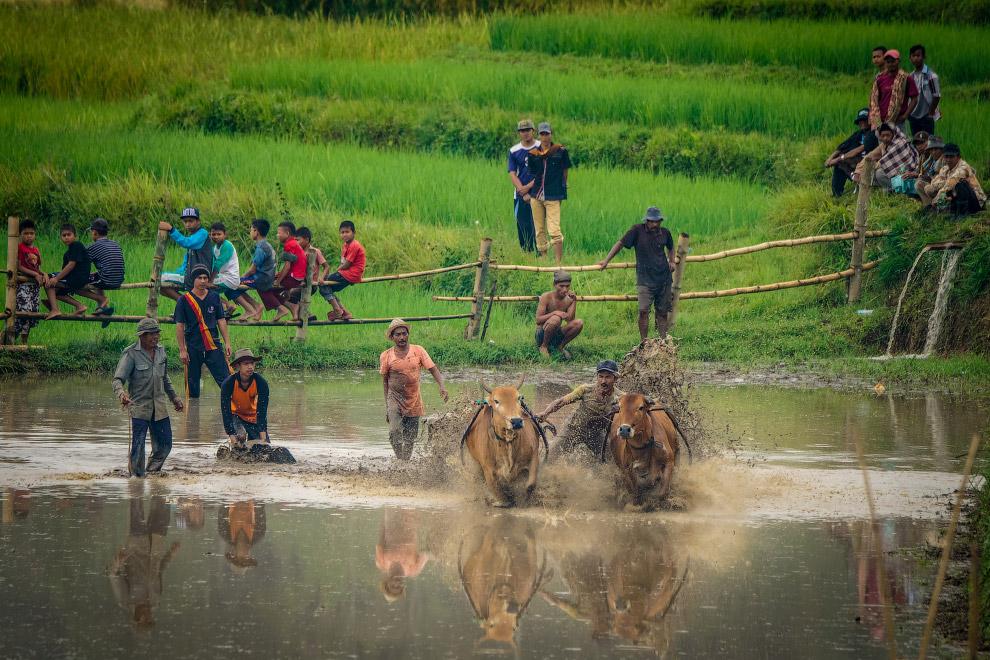 13. Люди довольны. Быки – вряд ли. (Фото Teh Han Lin):