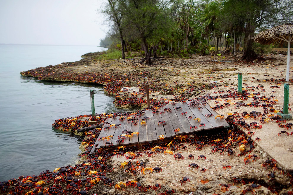12. Главные посетители пляжа Плая-Хирон на Кубе. (Фото Alexandre Meneghini | Reuters):