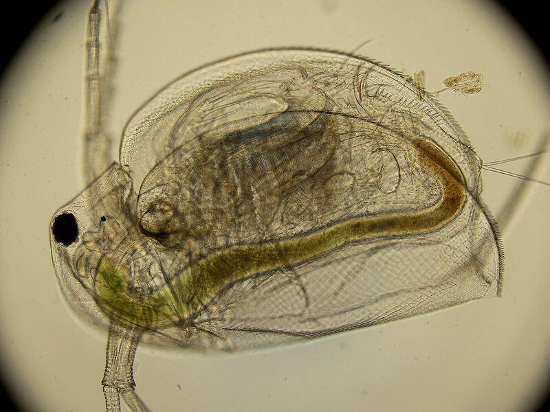 Большая дафния (лат. Daphnia magna, дафния магна) под микроскопом - мелкое ветвистоусое ракообразное, использующееся в биотестировании
