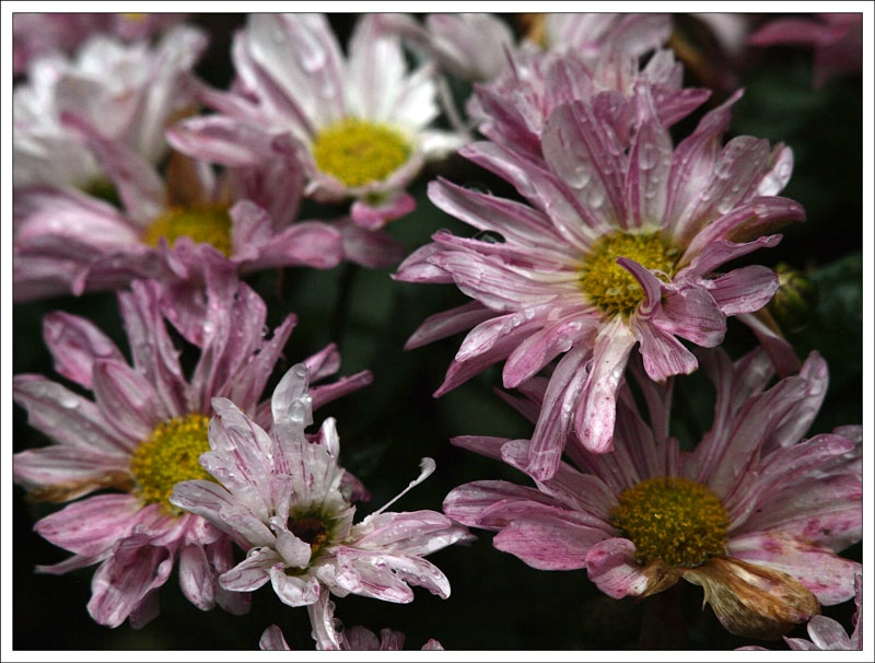 101_Chrysanthemum.jpg