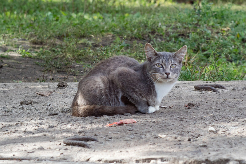 Печальная серая кошка