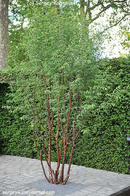 Prunus Amber Beauty.jpg