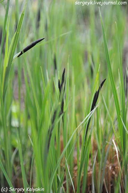 Carex acuta.JPG