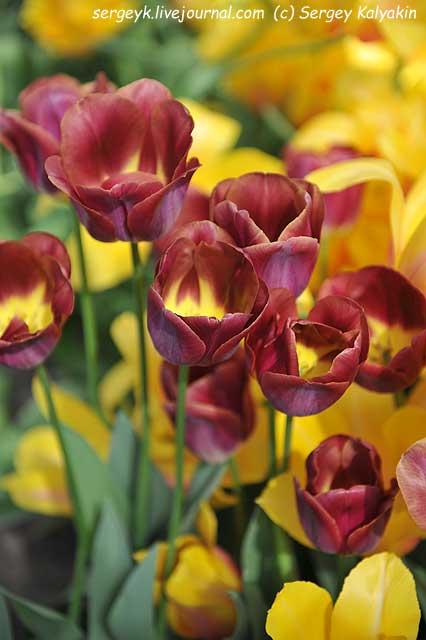 Tulipa Lex.JPG