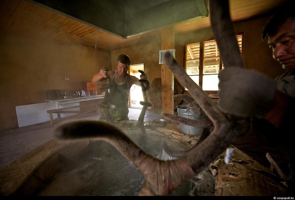 28. Варят панты для сохранения полезных свойств и очищения. В течение трех дней их опускают в кипящу