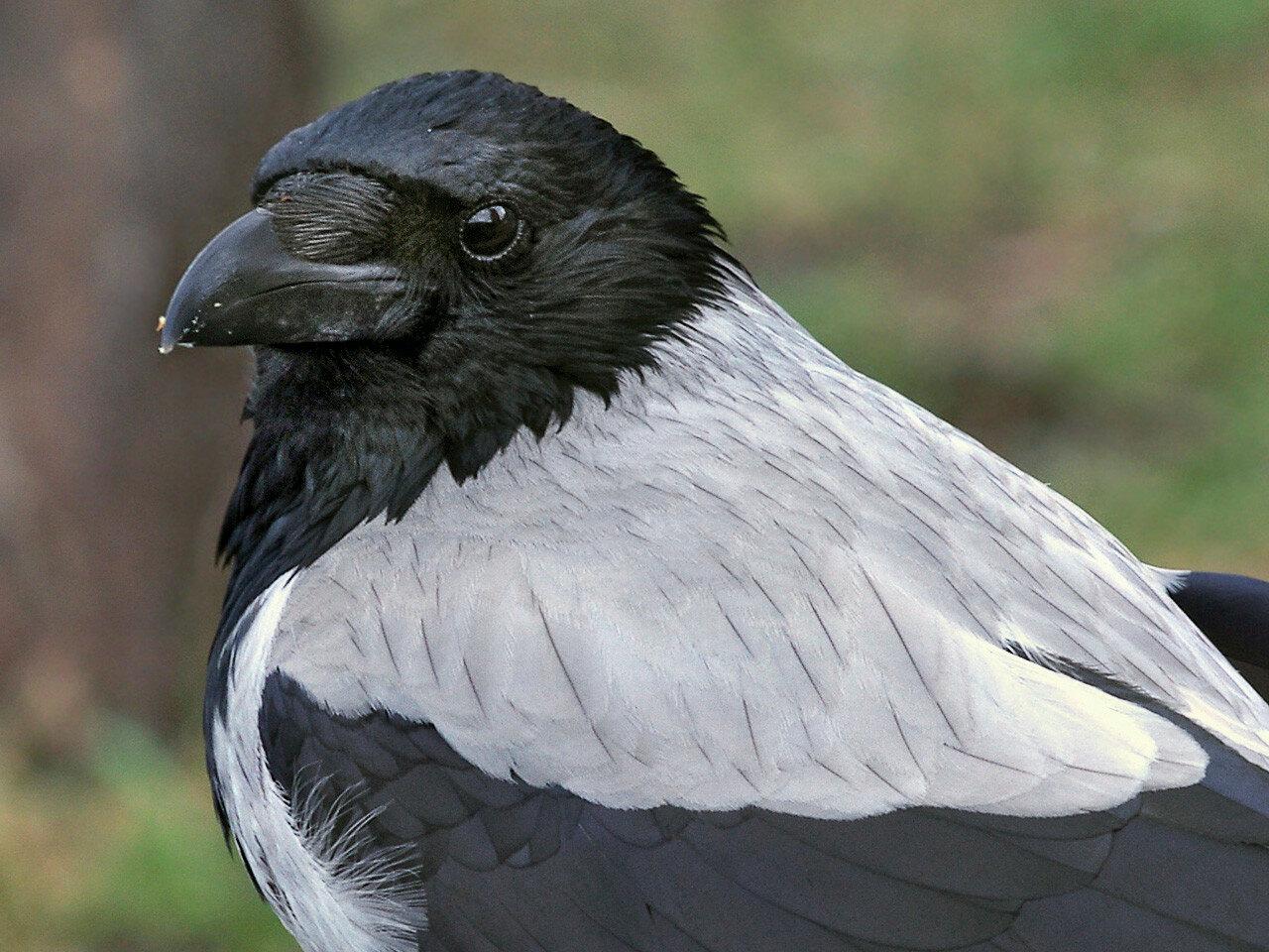 Серая ворона (Corvus cornix). Автор фото: Юрий Семенов