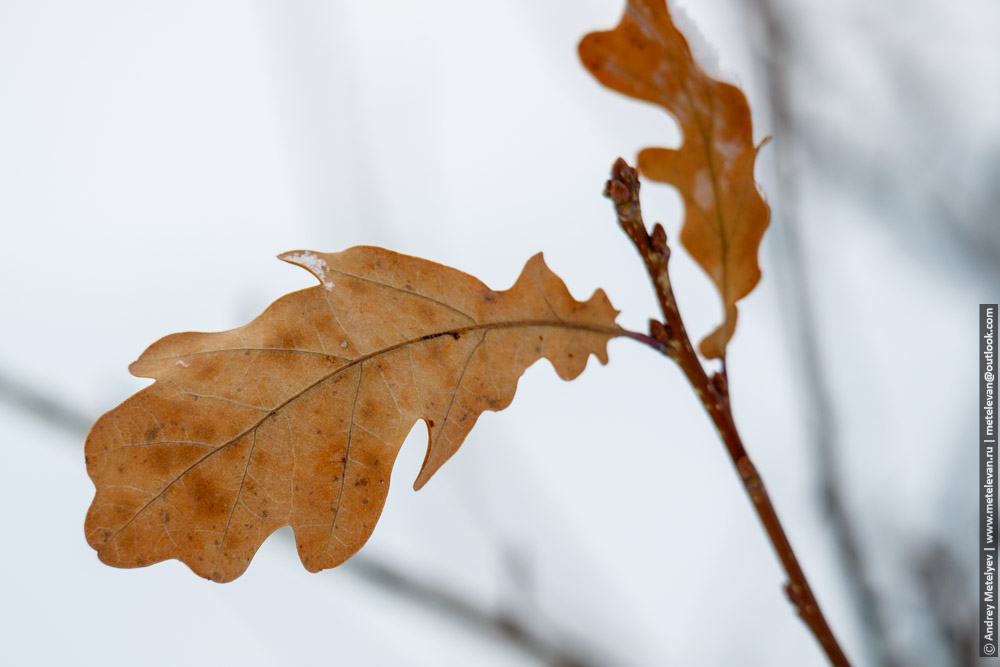 желтый дубовый листок