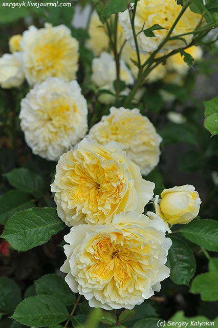 Rosa The Pilgrim  (3).JPG