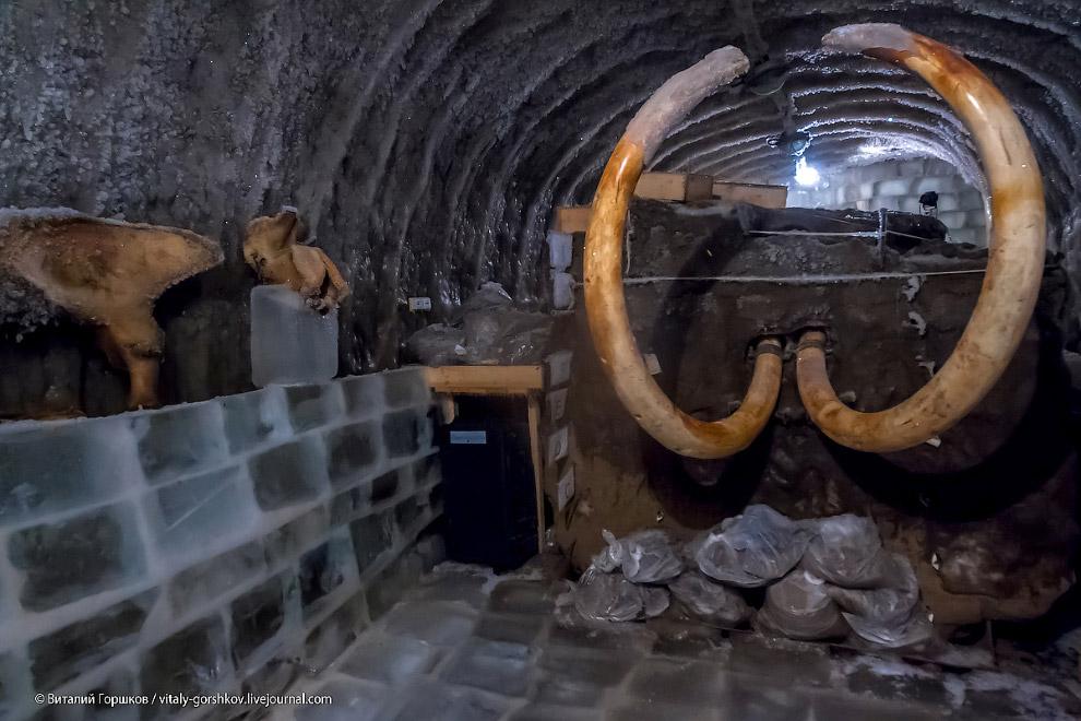 11. Сейчас в музее мамонта хранятся голова и бивни, примороженные к блоку мерзлоты, который был