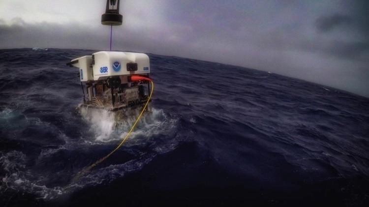 Длина туловища этого морского огурца составляет примерно 40 сантиметров.