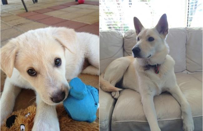 © twoandtwoequals5 / imgur.com  «Так вырос наш пес всего запару месяцев».