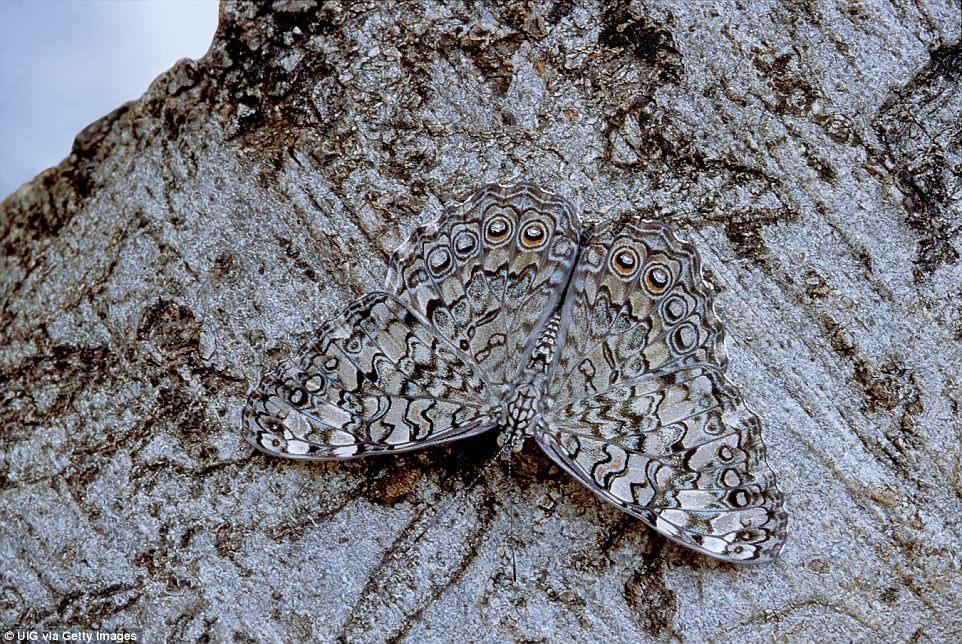 Бабочка вида Phoebis philea маскируется под листву. Техас, США.