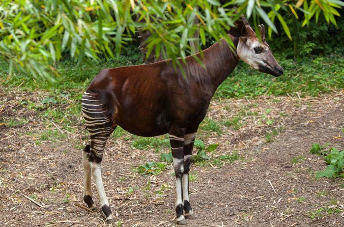 Окапи, лесной жираф. В начале XX века первые исследователи Африканского континента приняли его за маленькую лошадь. Только заполучив шкуру и череп животного, ученые смогли обнаружить, что оно больше похоже на карликового жирафа времен ледникового периода