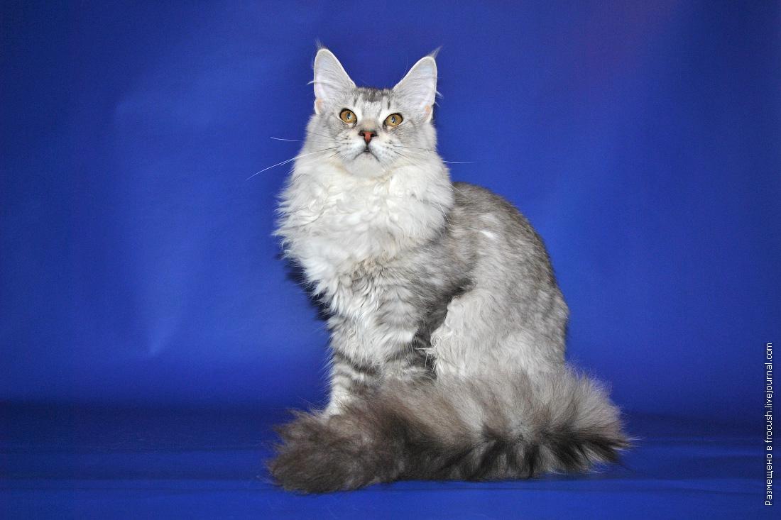 кошка мейнкун окрас черный серебряный тикированный