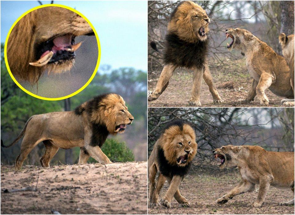 Царь зверей потерял зуб после схватки с львицей