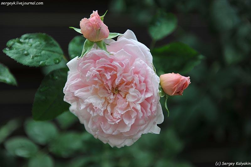 Rosa Eglantyne  (4).JPG
