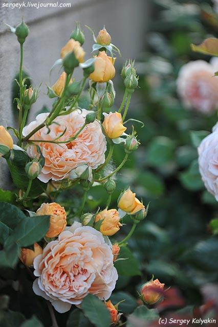 Rosa Lady Emma Hamilton  (4).JPG