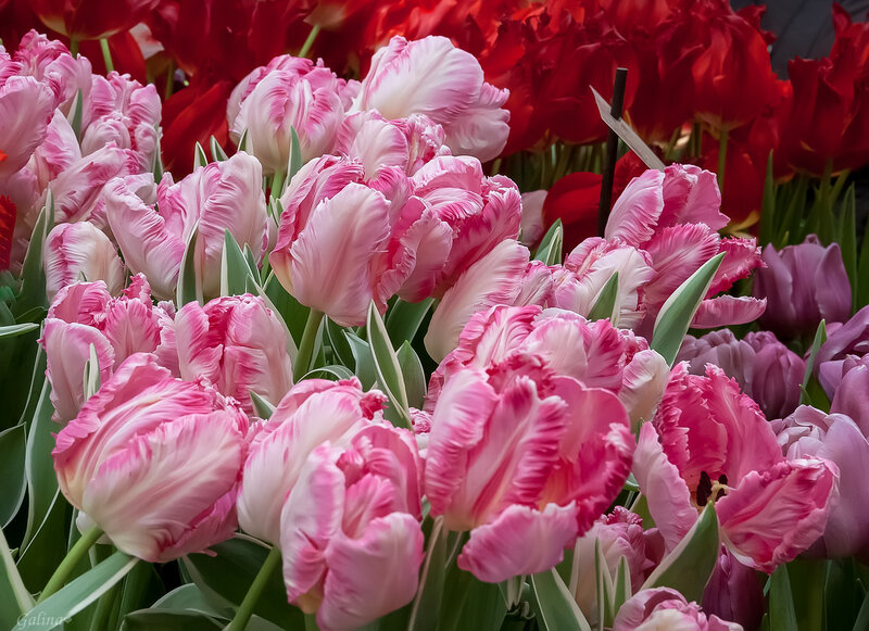 Розовые попугайные тюльпаны