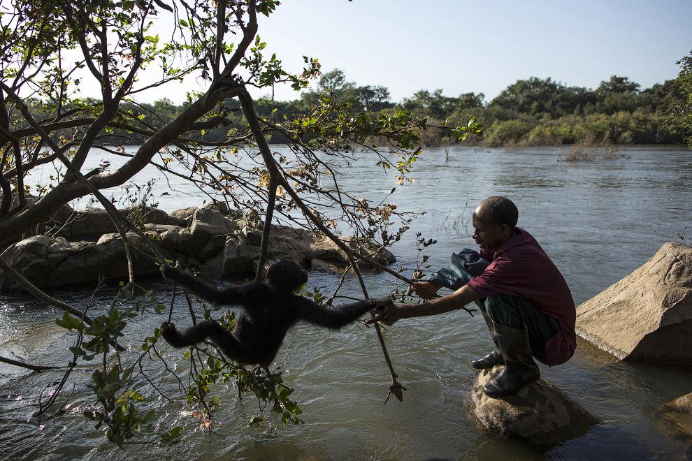 14. Целый обезьяний детский сад на прогулке. (Фото Dan Kitwood):