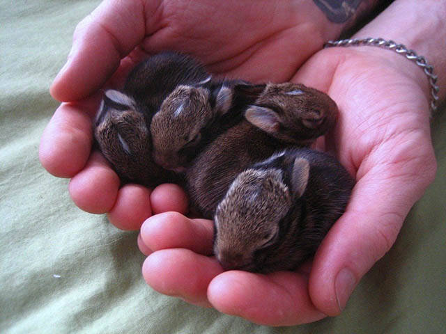 Просто горсточка маленьких кроликов…