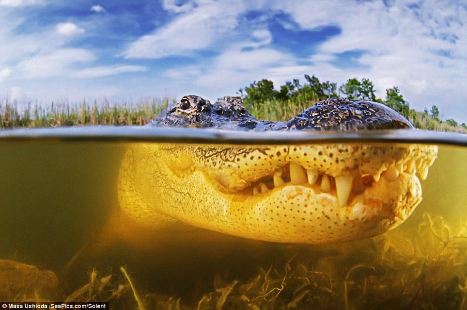 Аллигаторы отличаются от крокодилов более широкой мордой. По сравнению с настоящими крокодилами