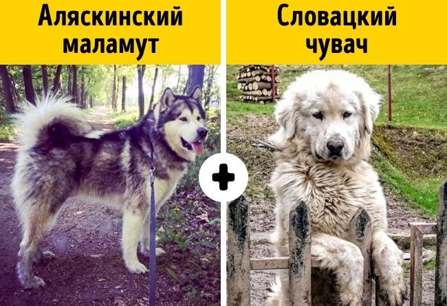 10умилительных пород собак, окоторых почти никто незнает