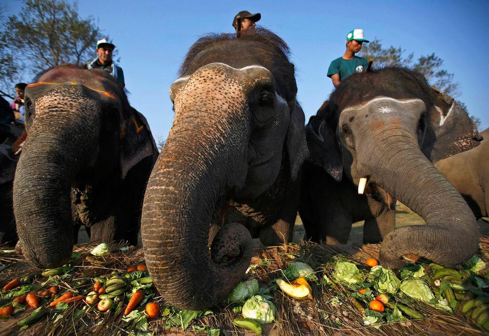 24. Также смотрите « Знакомьтесь, слон » и « Спасение слонов в Замбии ». (Фото Navesh Chitrakar).