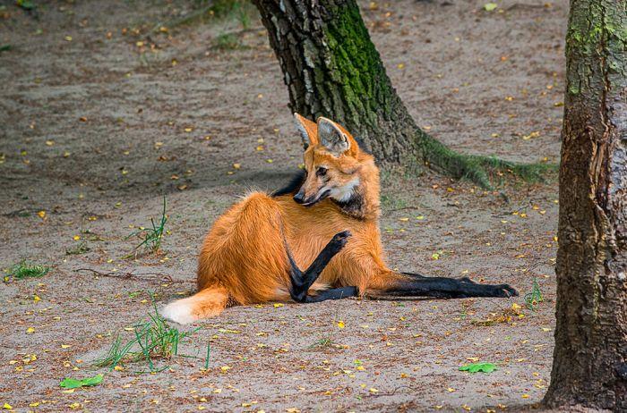 Гривастый волк. Длинные ноги — результат эволюции, они помогают животному преодолевать препятствия в виде высокой травы, растущей на южноамериканских равнинах
