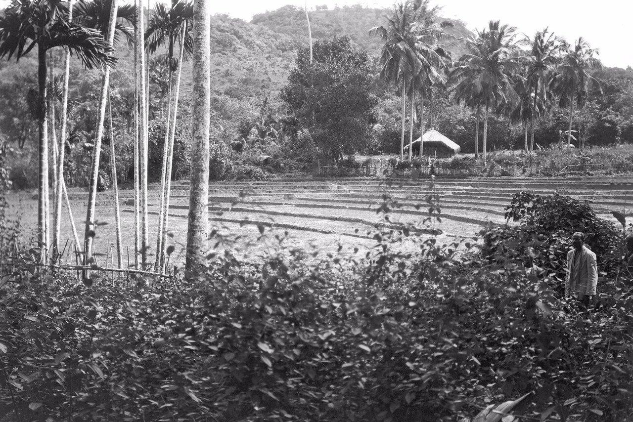 56. Рисовое поле в Колании