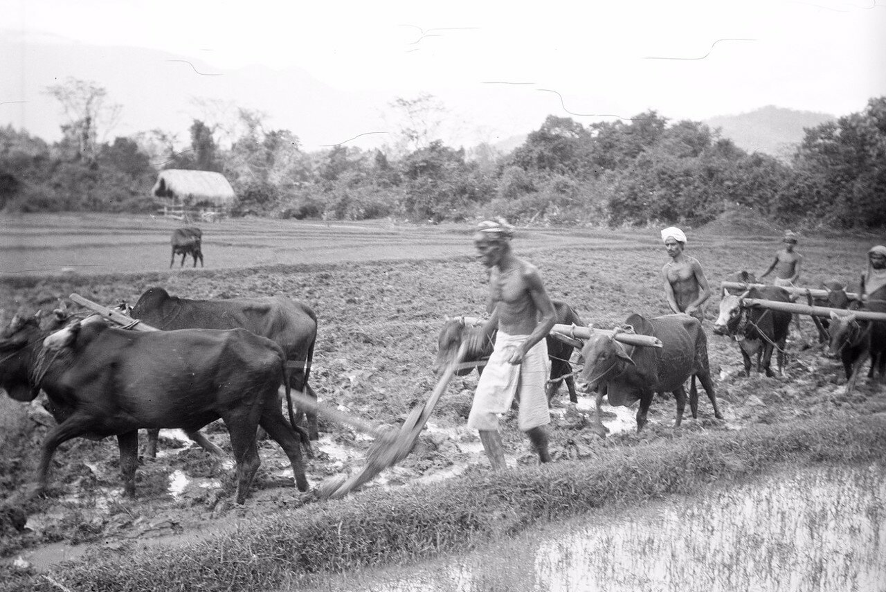 62. Крестьяне вспахивают  рисовое поле в Моландени