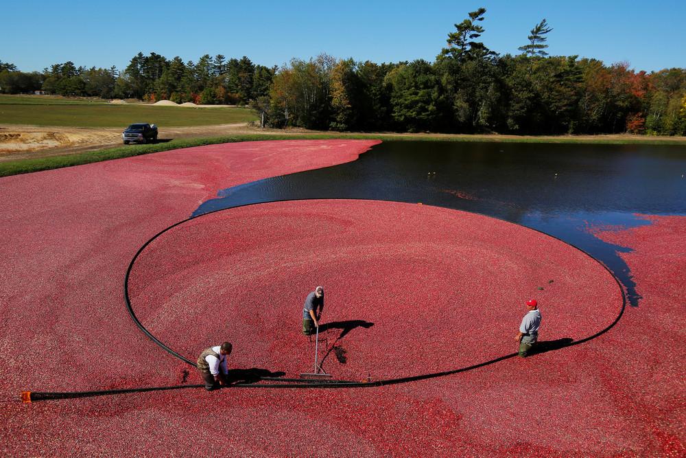 Сбор урожая клюквы на ферме в США