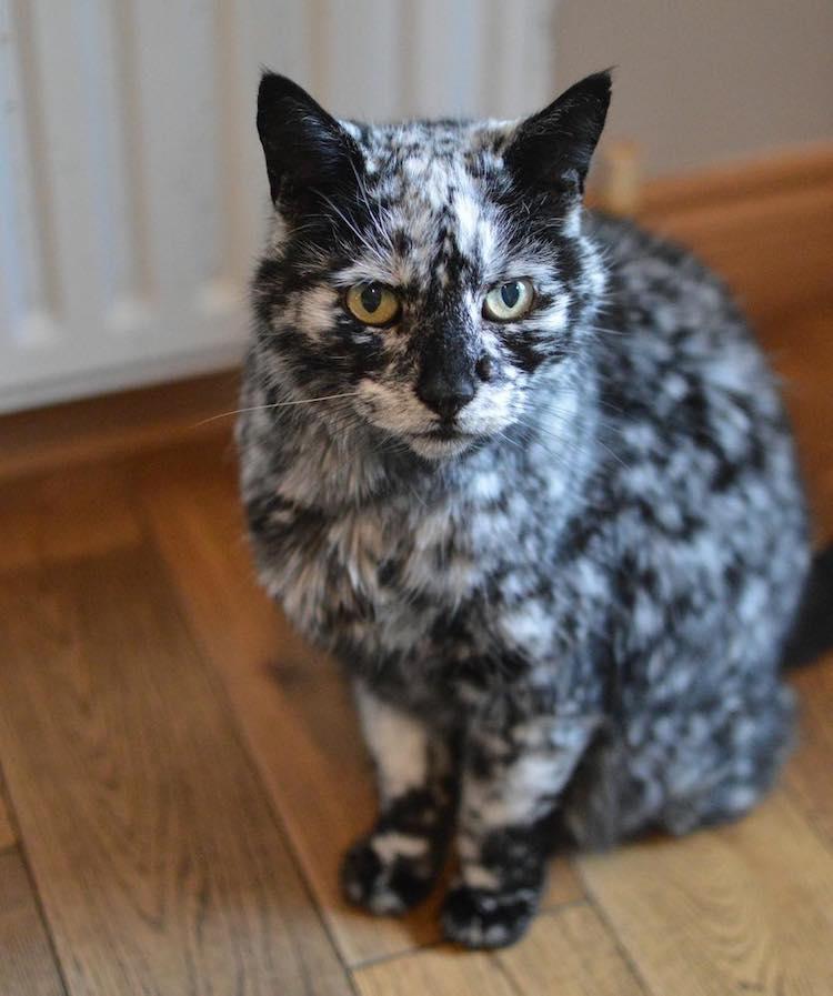 мраморный кот