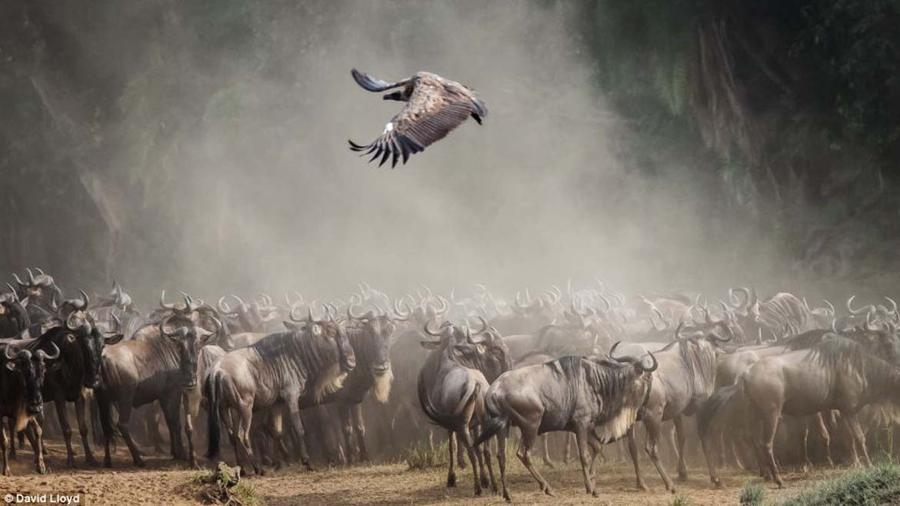 Дэвид Ллойд замечает отрясающие образы животных в дикой природе Кении