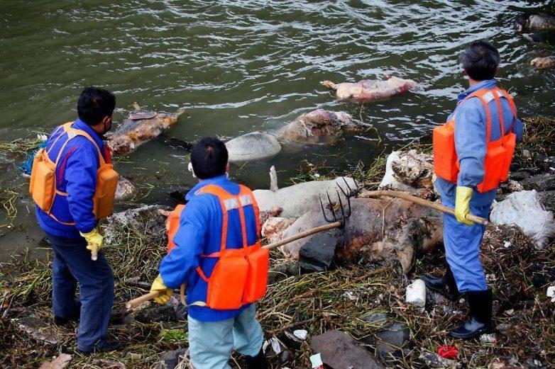 22. Более 3000 мертвых свиней в реке Хуанпу, Китай