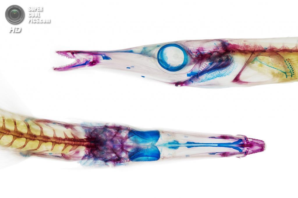 Длиннорылая колюшка Aulorhynchus flavidus. (Adam Summers)