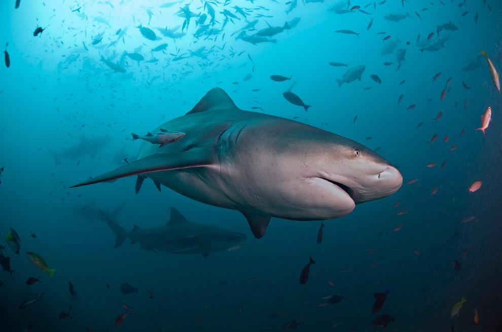 Гигантский морской дьявол (Манта) Где: Гавайи, Большой остров Сезон: круглый год Продолжительно