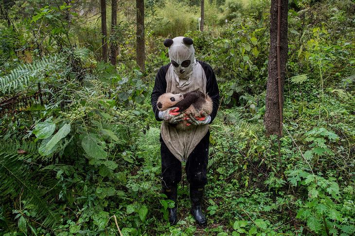 2. Ку-ку! Еще одна фотография из жизни панд, выращенных в неволе. (Фото Ami Vitale   2017 Sony World