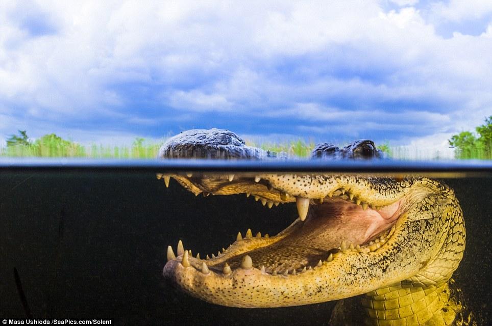 — Несмотря на свой устрашающий вид, в дикой природе аллигаторы боятся людей так же, как и мы их